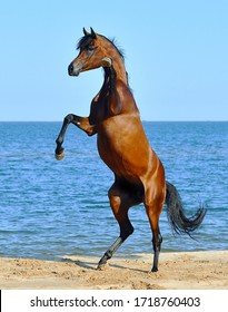 Purebred bay arabian stallion rearing on the beach against bright blue sky.