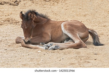 purebred bay dark brown arabian colt taking a nap in a sandy horse paddock while scratching his leg