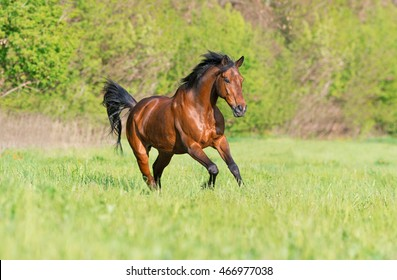 Purebred bay horse running free in summer meadow.