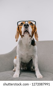 purebred beagle dog in glasses isolated on grey