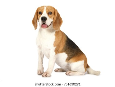 Purebred Beagle dog isolated on white background