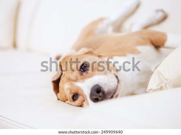 Purebred beagle dog lying on white sofa in luxury Hotel room