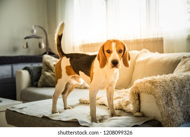 Purebred beagle dog standing on couch sofa in living room indoors