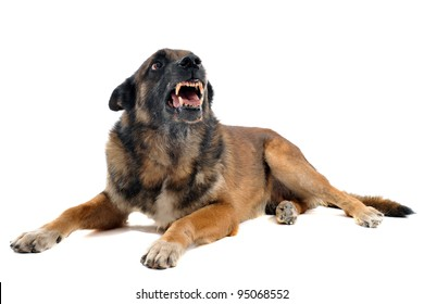 purebred belgian sheepdog malinois angry in front of white background