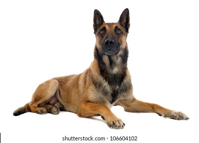purebred belgian sheepdog malinois on a white background