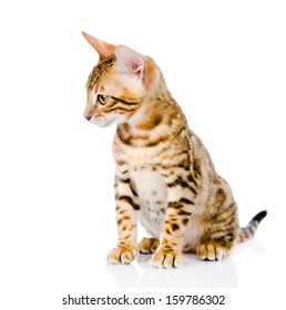 purebred bengal kitten. looking away. isolated on white background