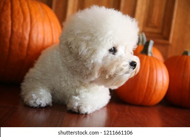 Purebred Bichon Frise Puppy with Orange Pumpkins. A 1 year old Bichon Frise poses with her Halloween or fall pumpkins.