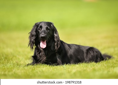 Purebred black flat-coated retriever dog outdoors on a sunny day.