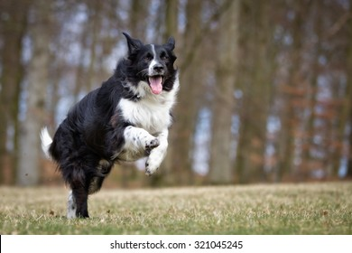 A purebred Border Collie dog without leash outdoors in the nature on a sunny day.