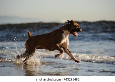 Purebred Boxer dog outdoor portrait running on ocean beach