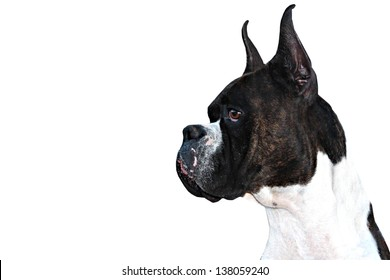 Purebred Boxer Dog profile with cropped ears on white background