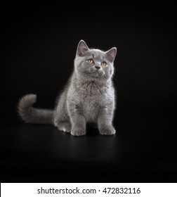 Purebred British Shorthair Blue Kitten on black background. Playful Young Cat with copper eyes.