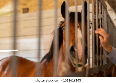 Purebred brown horse standing behind bars inside stable or barn and looking at camera
