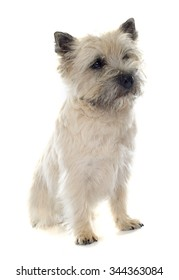 purebred cairn terrier in front of white background