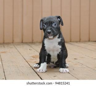 Purebred Canine Black Gottiline six week old puppy sitting on deck