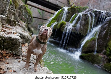 Purebred Canine Blue Fawn Brindle Colored American Bully Female Dog Standing in waterfall on rock in autumn.