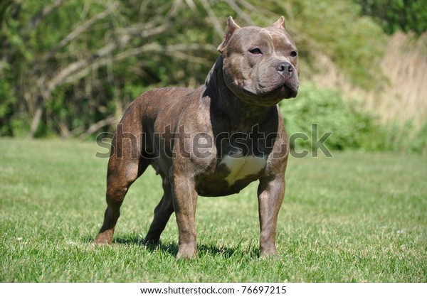 Purebred Canine Blue Fawn Brindle Colored Stock Photo (Edit