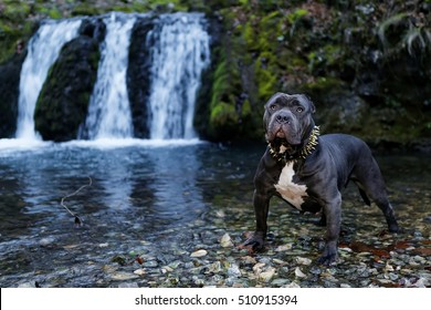 Purebred Canine Dog American Bully Female Seal Colored Dog Standing in waterfall on rock in autumn.