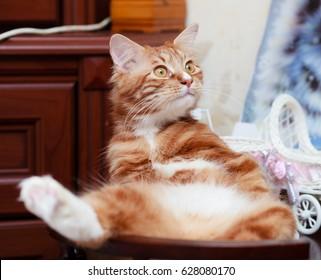 Purebred cats. Purebred cats. Kurilian Bobtail cat at home.
