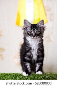 Purebred cats. Kurilian Bobtail cat at home.