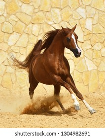 Purebred chestnut arabian stallion in gallop beside a stone wall. Vertical, front view, in motion.