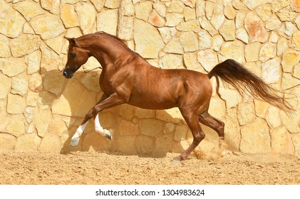 Purebred chestnut arabian stallion in gallop beside a stone wall. Horizontal, side view, in motion.