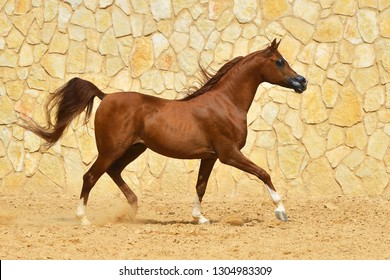 Purebred chestnut arabian stallion in trot beside a stone wall. Horizontal, side view, in motion.