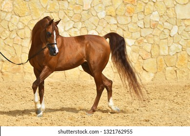 Purebred chestnut arabian stallion walking in a show halter beside stone wall. Horizontal, side view, in motion.