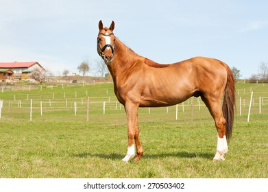 Purebred chestnut standing on pasturage stallion. Exterior image with side view.. Summertime outdoors.