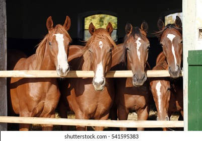 Purebred chestnut young racehorses looking over the barn door