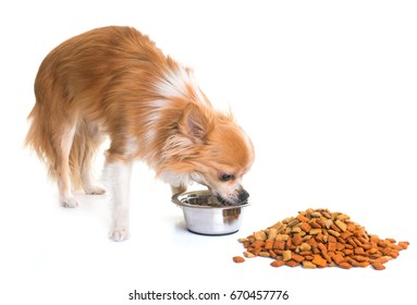 purebred chihuahua eating in front of white background