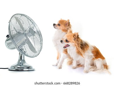 purebred chihuahuas and fan in front of white background