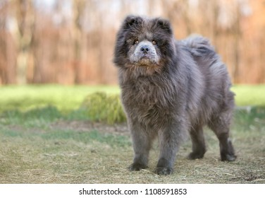 A purebred Chow Chow dog outdoors