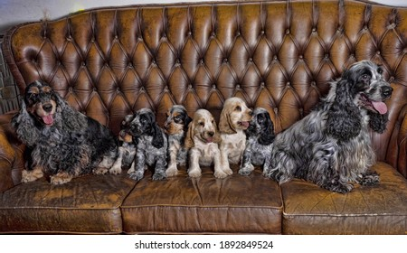 Purebred cocker spaniel puppies, with their parents, pose to the photographer on the sofa.