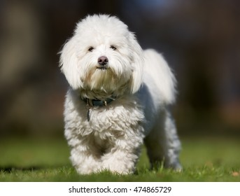 A purebred Coton de Tulear dog without leash outdoors in the nature on a sunny day.