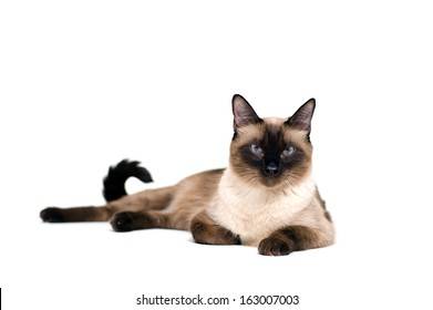 Purebred cute siamese cat lying studio shot