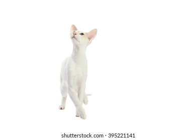 Purebred cute siamese cat studio shot, isolated on white background