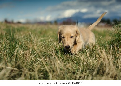 A purebred Dachshund puppy walks towards the camera through large clumps of grass on a late winter day. Focus is on the puppy's face with the background and foreground out of focus.