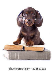 purebred dachshundr in glasses and book