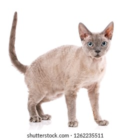 Pure-bred devon rex cat portrait on white background