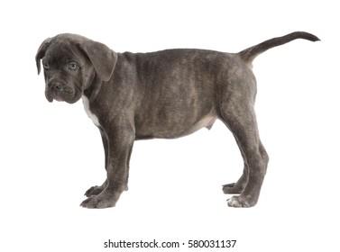Purebred dog Cane Corso.