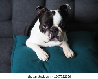 Purebred dog with a cute grumpy face laying on the pillows, Dog Portrait of black and white colored Boston terrier puppy with a flat face, Cute animal looking directly at the camera, Doggo chilling