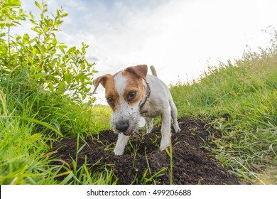 Purebred dog digging a hole outdoors