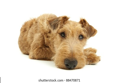 Purebred dog Irish Terrier on white background looking into lens