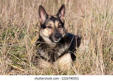 A purebred dog lies in the grass