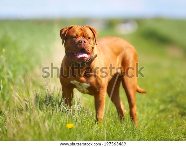 Purebred dog outdoors on a sunny summer day.
