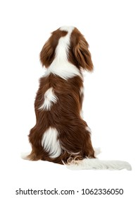 pure-bred dog, puppy Cavalier King Charles Spaniel, sit having turned a back, on white background, isolated