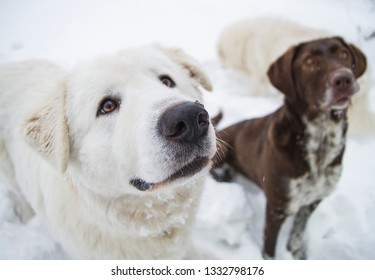purebred dogs obediently sit on the snow, this is kurtshaar and kuvas