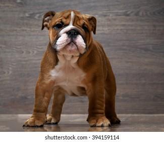 Purebred English bulldog puppy. Puppy 3 months. Dog standing on the wooden floor. Portrait of an elite puppy