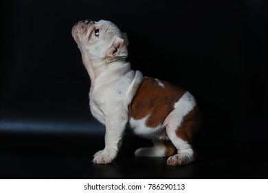 purebred English Bulldog puppy action on back screen